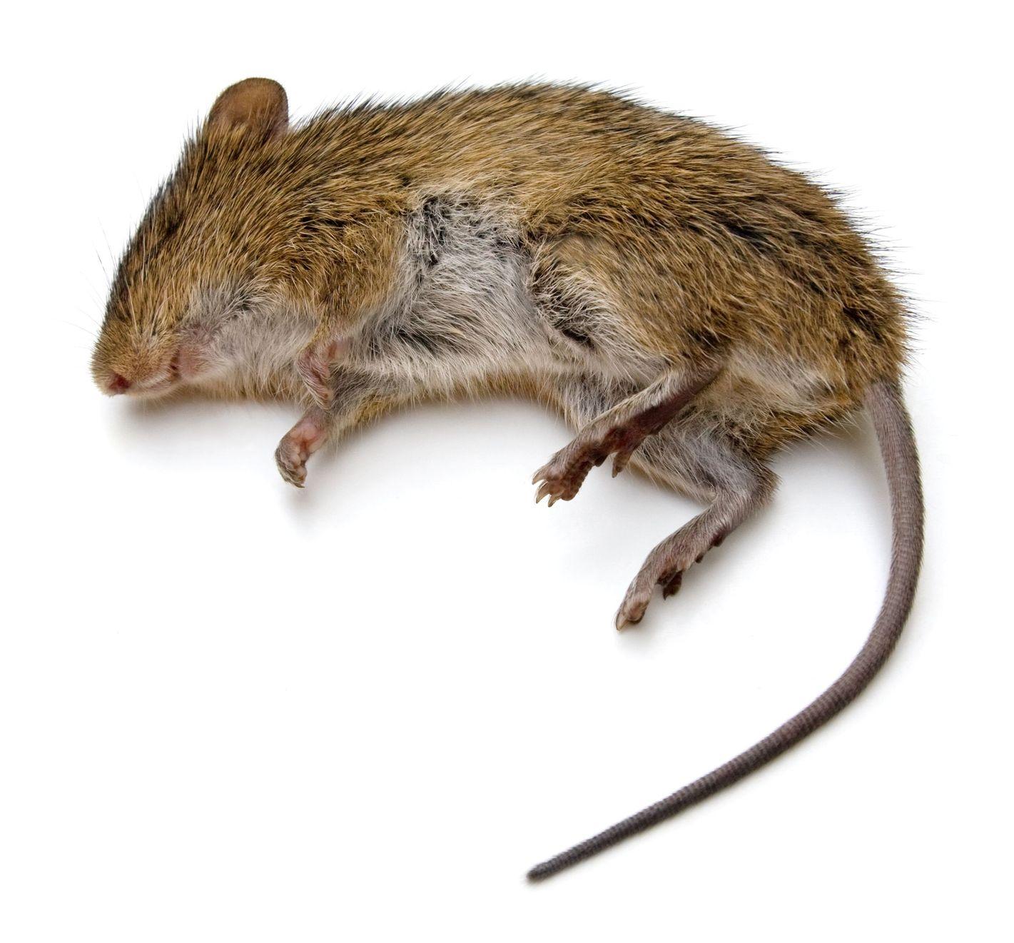 d ratisation lutte contre les rats souris rouen seine. Black Bedroom Furniture Sets. Home Design Ideas